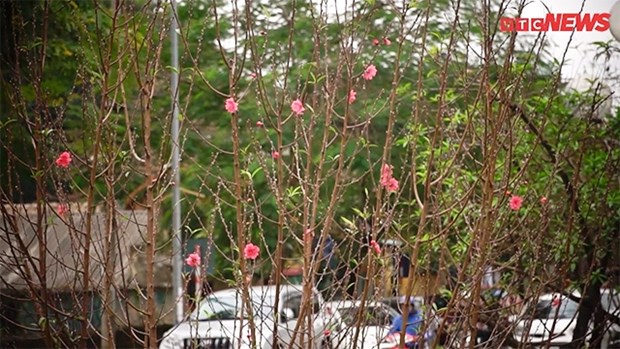 Une rue bordee d'abondantes fleurs de pecher annonce l'approche du Tet hinh anh 1