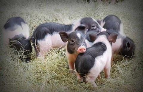 Preserver les races de cochons rares du Vietnam hinh anh 1