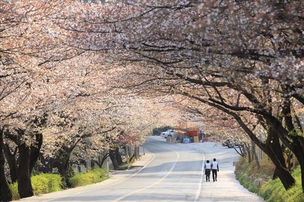 Lancement de la campagne de promotion du tourisme de printemps en R. de Coree hinh anh 1
