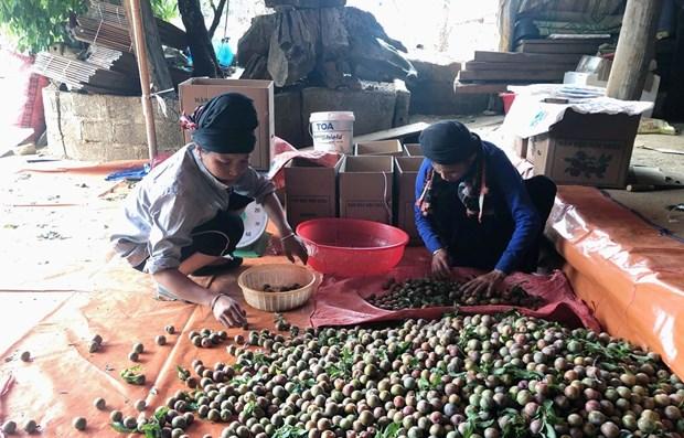 Signes positifs pour l'exportation de prunes de Son La hinh anh 1
