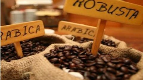 Le Robusta reprend des forces hinh anh 1
