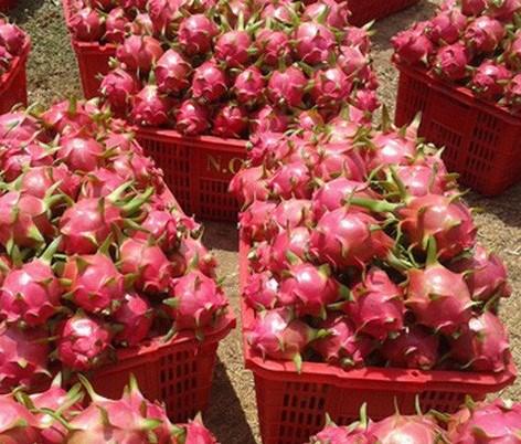 Un lot de huit conteneurs de fruits du dragon du Vietnam expedie aux Etats-Unis hinh anh 1