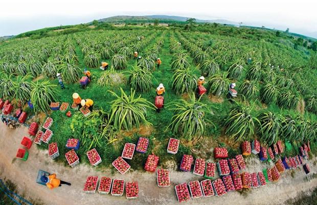Bientot le festival du fruit du dragon a chair rouge du Vietnam en Australie hinh anh 1