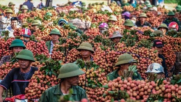 La Chine devrait augmenter ses importations de litchi vietnamien hinh anh 1