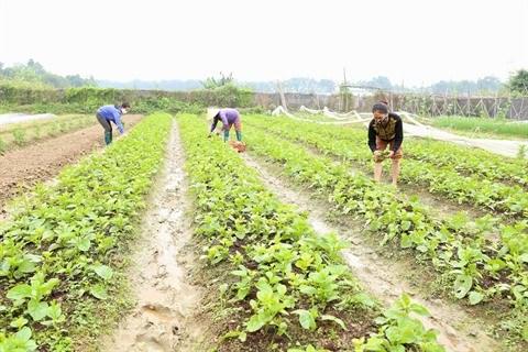 Hanoi fait vivre son agriculture bio hinh anh 1