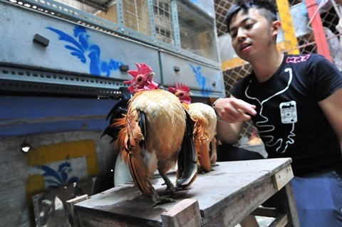L'elevage de la plus petite race de poules domestiques rapporte gros hinh anh 3