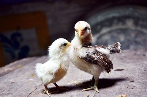 L'elevage de la plus petite race de poules domestiques rapporte gros hinh anh 2