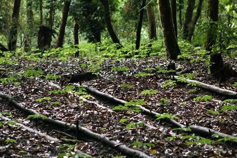 Le ginseng vietnamien tres prise et menace d'extinction hinh anh 1