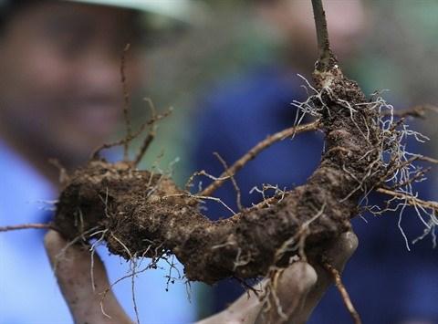 Le ginseng vietnamien tres prise et menace d'extinction hinh anh 2