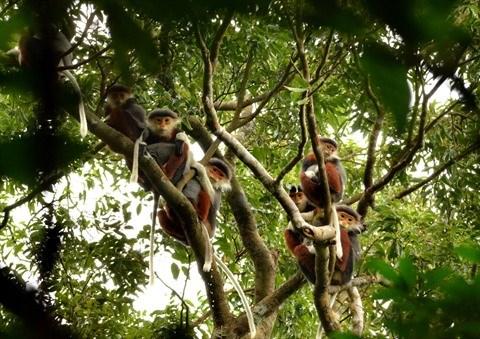 La Reserve naturelle de Son Tra protege ses doucs a pattes rousses hinh anh 1
