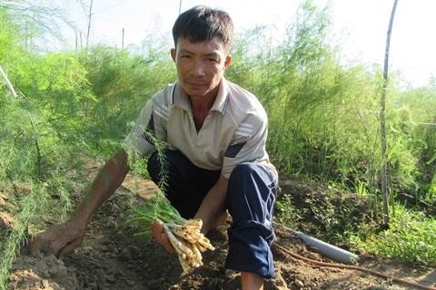 Au Centre, le bon filon des plantations d'asperges a Ninh Thuan hinh anh 1