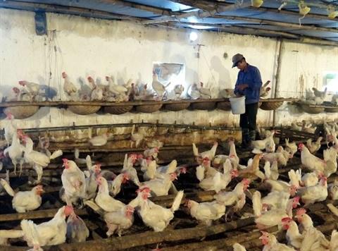 Le Vietnam exportera pour la premiere fois de la viande de poulet au Japon hinh anh 2