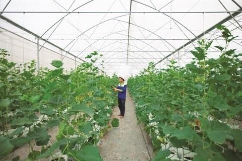La culture du melon se branche sur la high-tech a Tay Ninh hinh anh 1