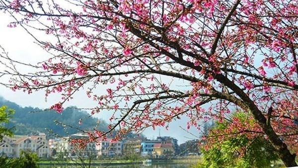 Sa Pa plantera 3.000 nouveaux cerisiers pour promouvoir le tourisme hinh anh 1