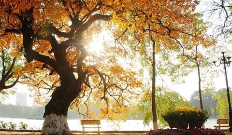 La diversite des arbres de Hanoi hinh anh 2