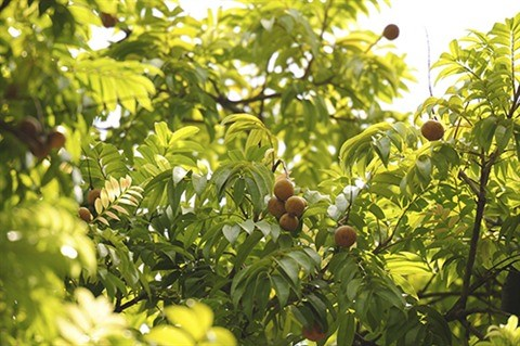 La diversite des arbres de Hanoi hinh anh 3