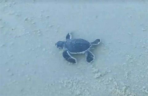 Les tortues marines beneficient d'un coup de pouce salvateu hinh anh 2
