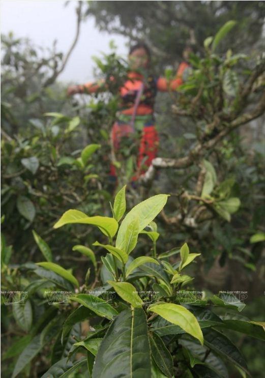 Le the Shan tuyet Ta Xua, plus de 200 ans et toutes ses feuilles hinh anh 2