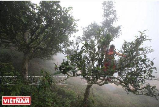 Le the Shan tuyet Ta Xua, plus de 200 ans et toutes ses feuilles hinh anh 1