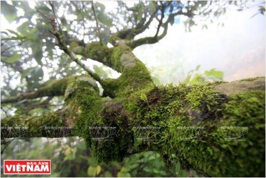 Le the Shan tuyet Ta Xua, plus de 200 ans et toutes ses feuilles hinh anh 3