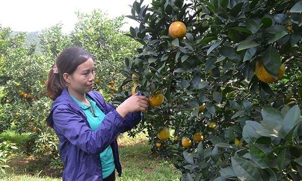 A Cao Phong, les agrumiculteurs savourent les fruits de la croissance hinh anh 1