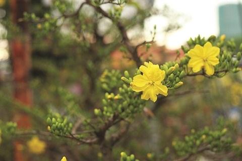 La fleur d'abricotier comme un rappel eternel au printemps dans le Sud hinh anh 3