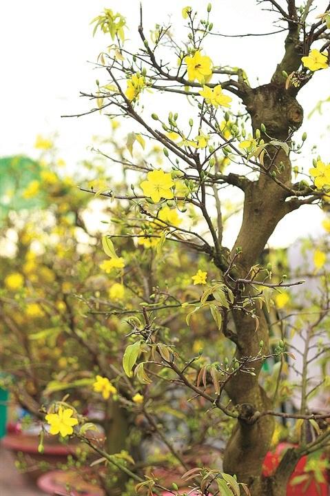 La fleur d'abricotier comme un rappel eternel au printemps dans le Sud hinh anh 2