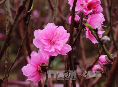 Au village de Nhat Tan, les fleurs de pecher de toujours sourient au vent de l'Est hinh anh 1