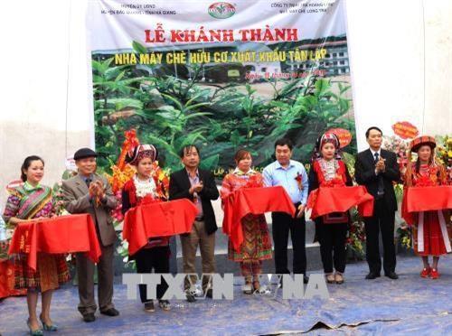 Ha Giang se dote d'une usine de the bio equipee de technologies japonaises hinh anh 1