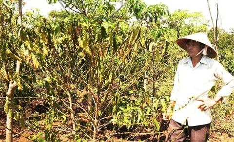 La secheresse sevit au Tay Nguyen, les agriculteurs sur le qui-vive hinh anh 2