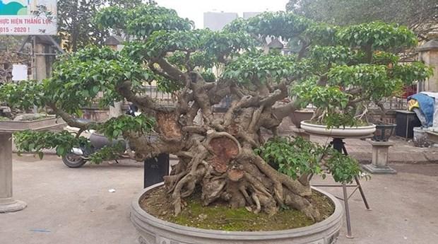 Trieu Khuc, la passion des bonsais hinh anh 2