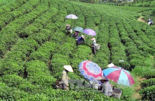Le Vietnam a exporte plus de 45.000 tonnes de the en cinq mois hinh anh 1