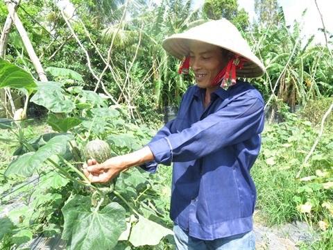 Ho Chi Minh-Ville : Hausse de la superficie de la culture maraichere labelisee hinh anh 2