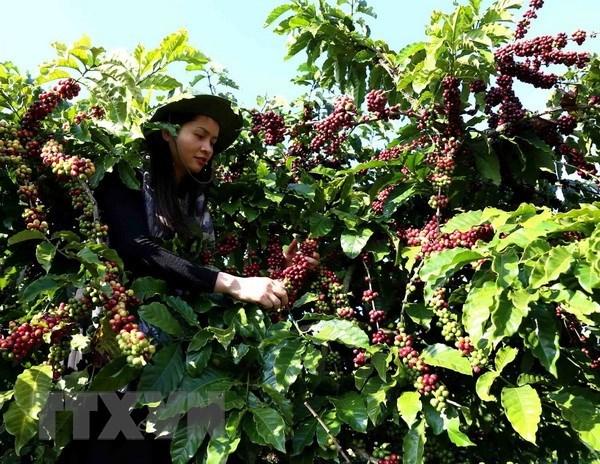 La cafeiculture vietnamienne en quete de marques fortes hinh anh 2