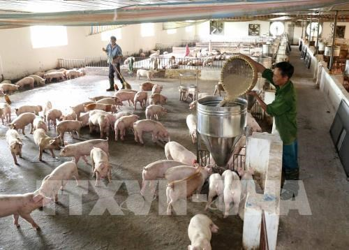 Le Vietnam se mobilise face aux risques de peste porcine africaine hinh anh 1