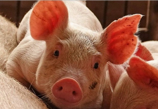 Renforcement des mesures de prevention de la peste porcine africaine hinh anh 1