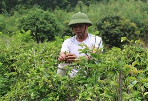 Necessite de developper la culture des plantes medicinales hinh anh 1