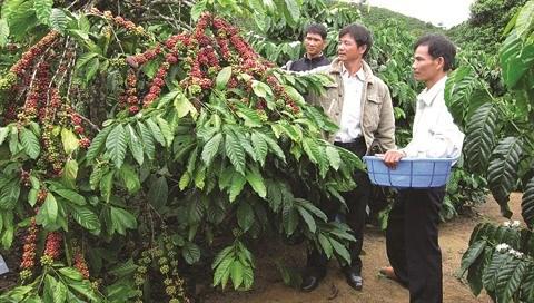 Le cafe, porteur de richesse sur le plateau Di Linh hinh anh 1