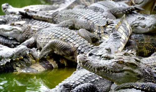 Constitution de marques pour augmenter les exportations de crocodiles hinh anh 1