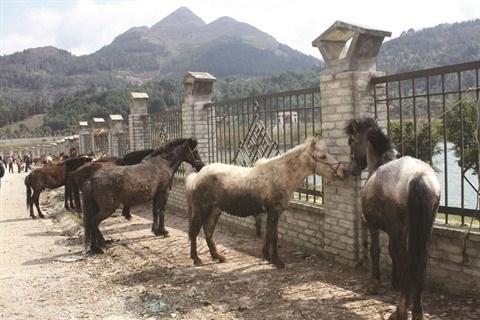 Lao Cai: le marche aux chevaux de Bac Ha, une fete haute en couleurs hinh anh 1