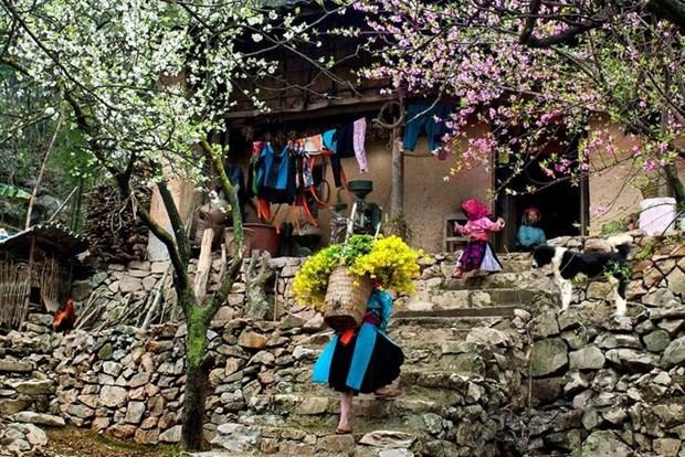 """Plongee dans la """"saison des fleurs sur la pierre"""" a Ha Giang hinh anh 11"""