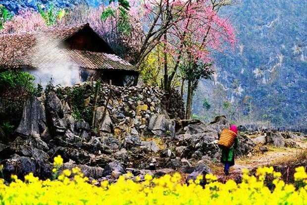 """Plongee dans la """"saison des fleurs sur la pierre"""" a Ha Giang hinh anh 2"""