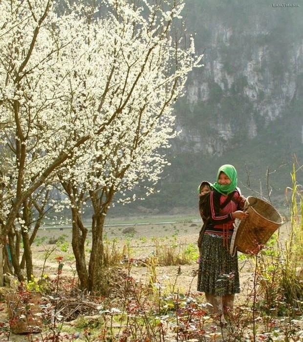 """Plongee dans la """"saison des fleurs sur la pierre"""" a Ha Giang hinh anh 3"""
