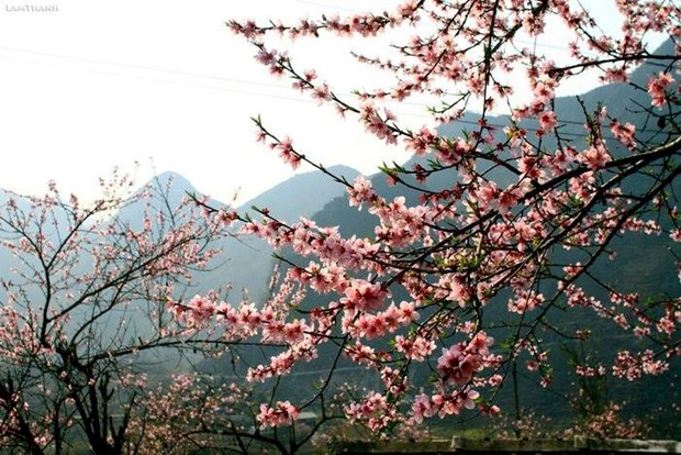 """Plongee dans la """"saison des fleurs sur la pierre"""" a Ha Giang hinh anh 7"""