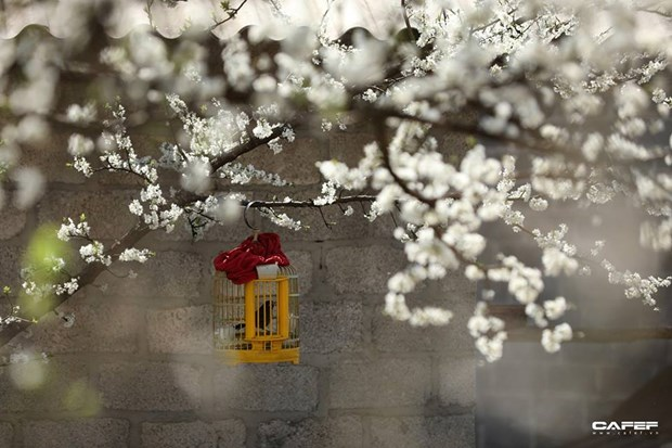 """Plongee dans la """"saison des fleurs sur la pierre"""" a Ha Giang hinh anh 8"""