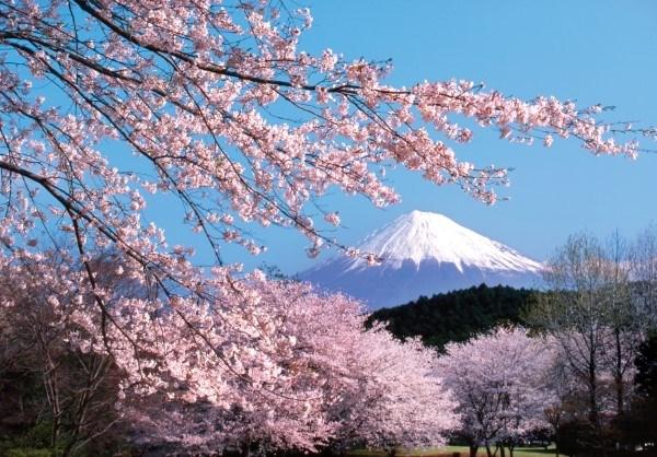 La fete des fleurs de cerisier Japon – Hanoi 2019 prevue fin mars hinh anh 1