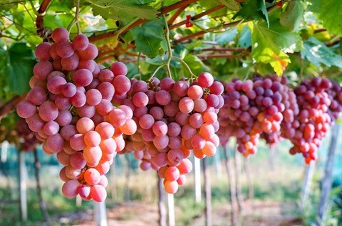 L'Australie promeut ses exportations de raisins frais sur le marche vietnamien hinh anh 1