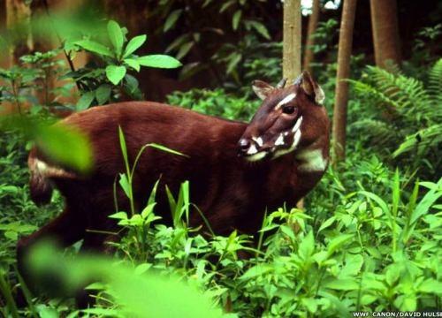 Decouverte de bisons et saolas au parc national de Phong Nha-Ke Bang hinh anh 1