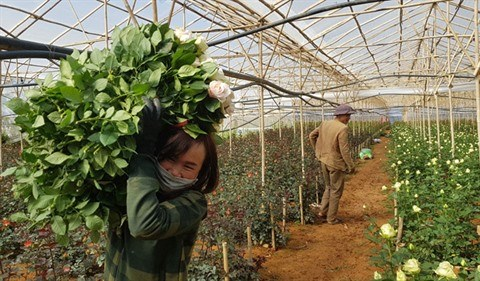 Au pied de la montagne Lang Biang, on a fait fortune grace aux roses hinh anh 2