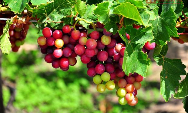 Fete du vin et des raisins de Ninh Thuan 2019 hinh anh 1